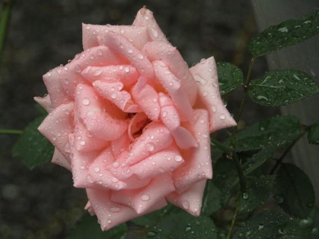 雨中のバラ