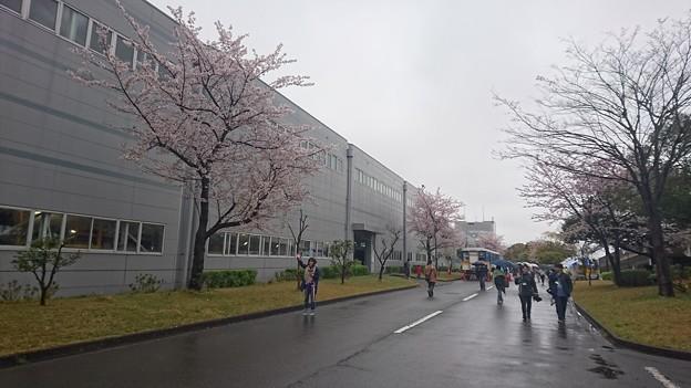 車両基地の桜