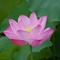 写真: 小石川後楽園のハス