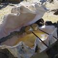 シャコガイの手水鉢