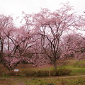 Photos: 菅谷館跡の桜