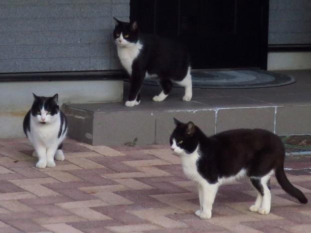 _180213 322 黒白はちわれ猫3兄弟(姉妹?)