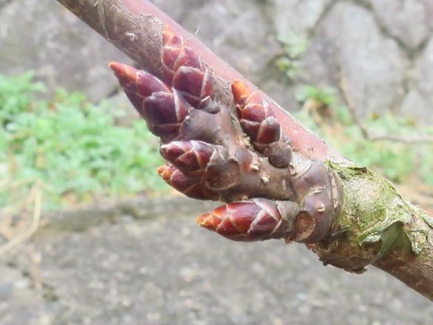 _180309 052 桜の芽
