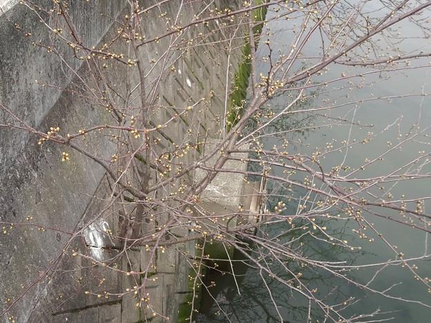 180319 002 福山マラソン ど根性桜?