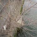 Photos: 180319 002 福山マラソン ど根性桜?