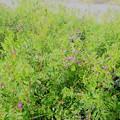 Photos: _190129 024 カラスノエンドウの花がもう咲いている…