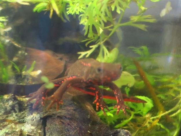 _190204 038 アカハライモリ 背中に赤いドットのある個体