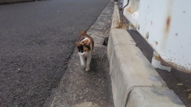 Photos: 191103 003 三毛猫 ひとなつこい