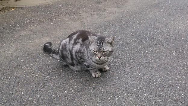 191103 005 アメショ猫