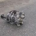 Photos: 191103 005 アメショ猫