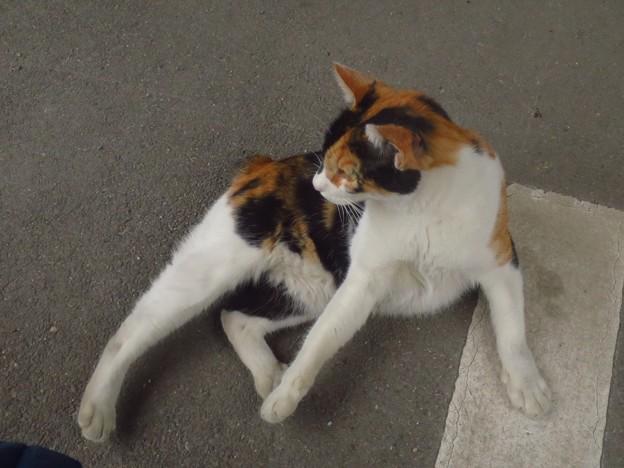 _191103 170 ひとなつこい三毛猫