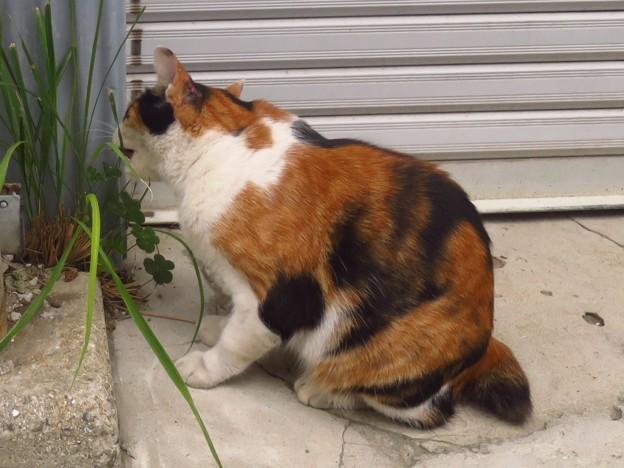 _191103 184 ひとなつこい猫 草を食べる