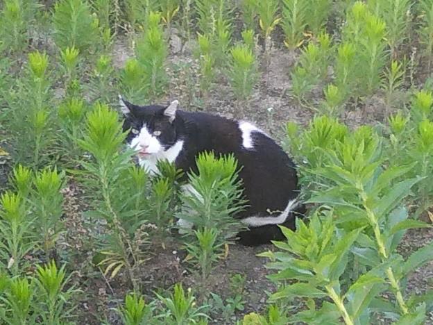 DSC_0138 ボスハチワレ猫