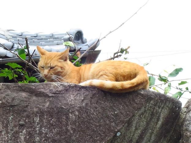 _IMG_2842 茶トラ猫
