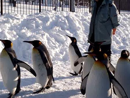 ペンギン散歩の写真