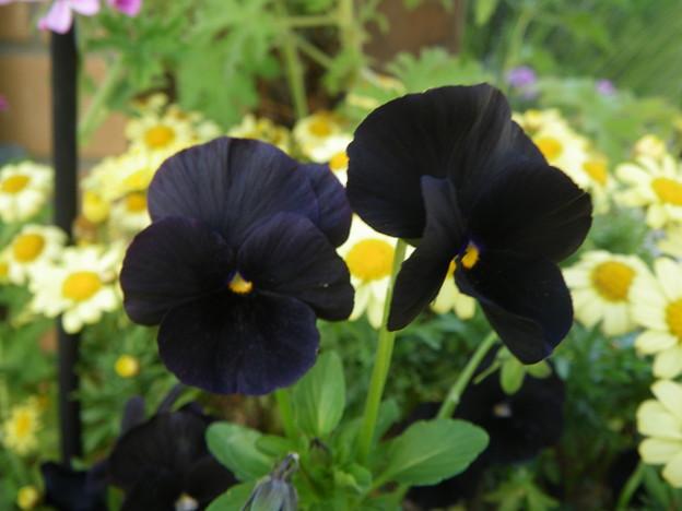 黒いビオラPENTAX OPTIO W60 5683