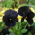 写真: 黒いビオラPENTAX OPTIO W60 5683