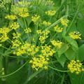 写真: フェンネルの花PENTAX OPTIO W60 6401