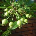 写真: ヒメリンゴPENTAX OPTIO W60 7234