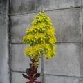 クロホウシ(アエオニウム)の花CANON IXY 810IS 5405