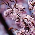 Photos: 桜その13