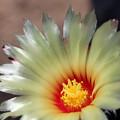 サボテンの花 白瑞鳳玉