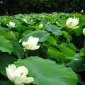写真: 一面のハス花