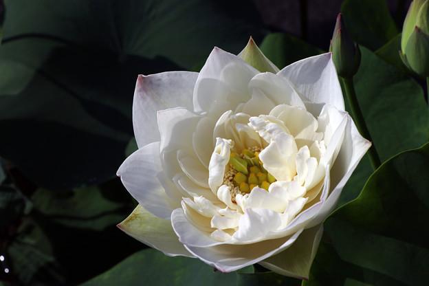 白菊(しらぎく)