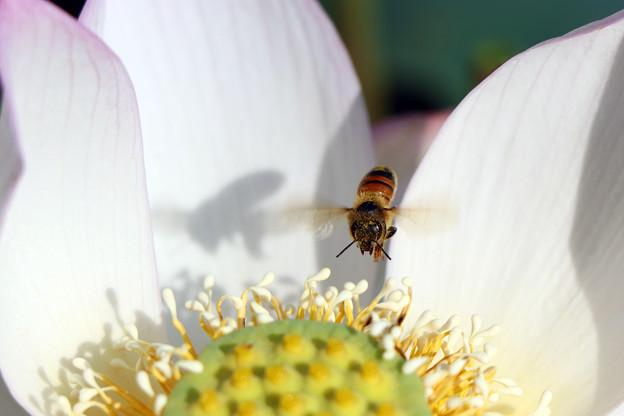 蜂がやってきた(爪紅茶碗蓮)
