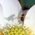 写真: 蜂がやってきた(爪紅茶碗蓮)