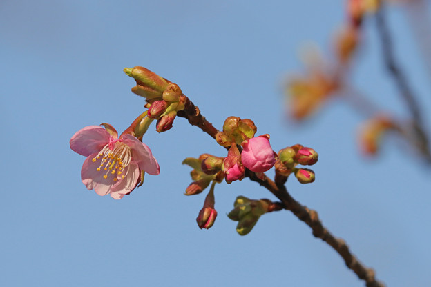 河津桜 やっと咲いた