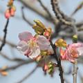 2月21日の河津桜