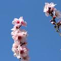 アーモンドの花1