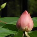 写真: レンコン田の蓮花