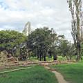 写真: ポプラ並木も無残