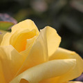 薔薇 光華