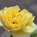 バラ 「レモン」