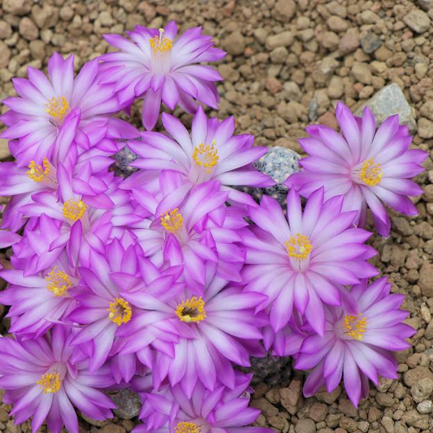 サボテンの花 テレサエ