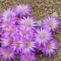 Photos: サボテンの花 テレサエ
