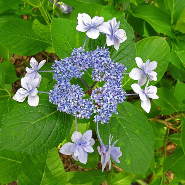 変った紫陽花