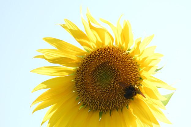 クマバチと太陽