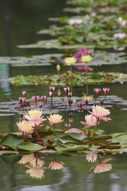 咲くやこの花館前 池
