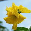 Photos: たぶんへちまの花では