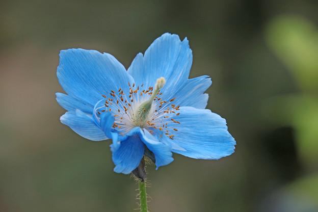 青いケシの花(八重風)