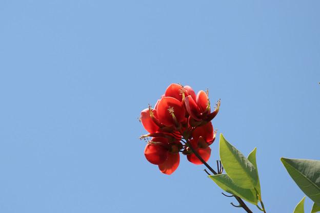ディゴの花