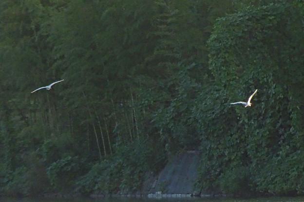 サギ2羽が