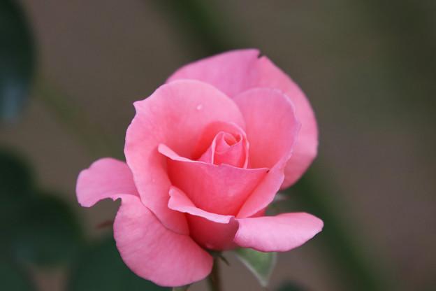 ばら ピンク
