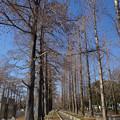 Photos: ラクウショウとメタセコイア並木