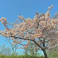 Photos: 河津桜も満開