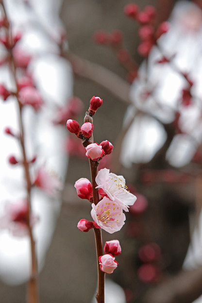 杏が咲き始めて